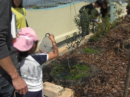 5 オリーブの苗へ水やり(きれい家レオンOlive+ eco-project).JPG